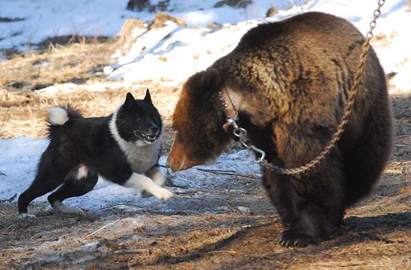 Работа лайки по медведю