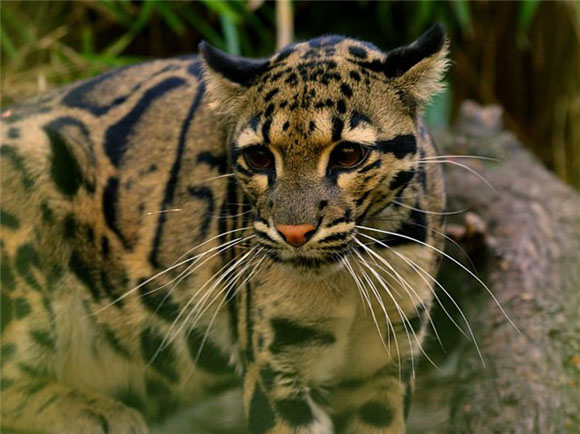 дымчатый леопард возвращается в Индию