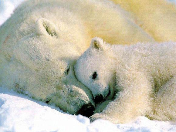 Установлены новые квоты на добычу белого  медведя