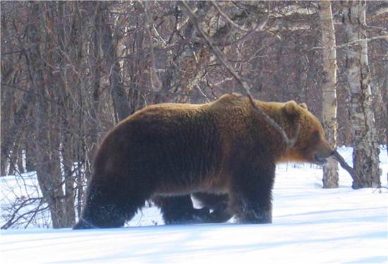 охота на медведя, охота на медведя зимой, охота на лося, охота на кабана