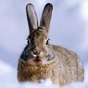 зайцы, охота на зайцев