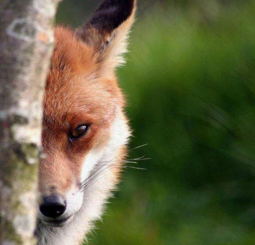 В  Германии завелась лиса-клептоманка