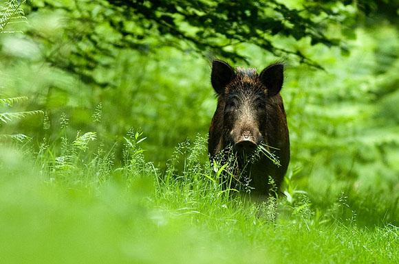 Охота, охота в Эстонии, разрешение на охоту в Эстонии, новый закон об охоте в Эстонии, охотники, министерство по охране окружающей среды Эстонии, сезон охоты в Эстонии, где и на кого охотятся в Эстонии, охота на кабана в Эстонии, охота на косулю в Эстонии, охота на рысь в Эстонии