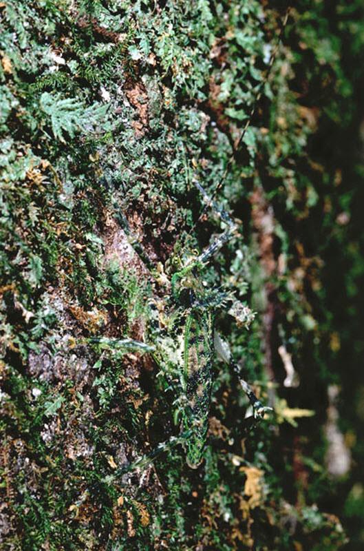 Кузнечики прячутся среди мха и лишайника в Камеруне