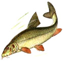 ДНЕПРОВСКИЙ УСАЧ Barbus barbus (подвид borysthenicus)