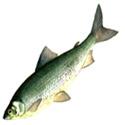 СИГ, баунтовский подвид. Coregonus lavaretus (подвид baunti)