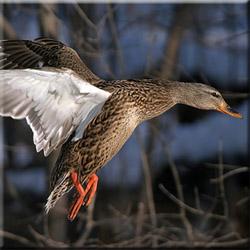 Осенняя охота на утку