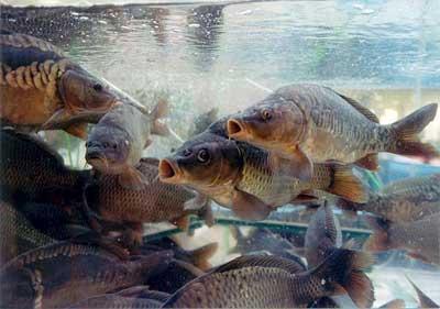 лещ, рыбалка