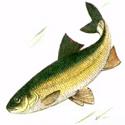 ВЫРЕЗУБ, подвид кутум Rutilus frisii (подвид kutum)