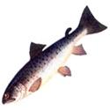 КУМЖА, беломорско-балтийский подвид Salmo trutta (подвид trutta)