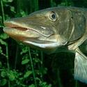 рыбалка, щука