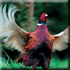 Охота на фазана, охотничьи туры на фазана