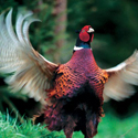 охота, фазан