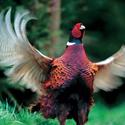 календарь охотника, фазан