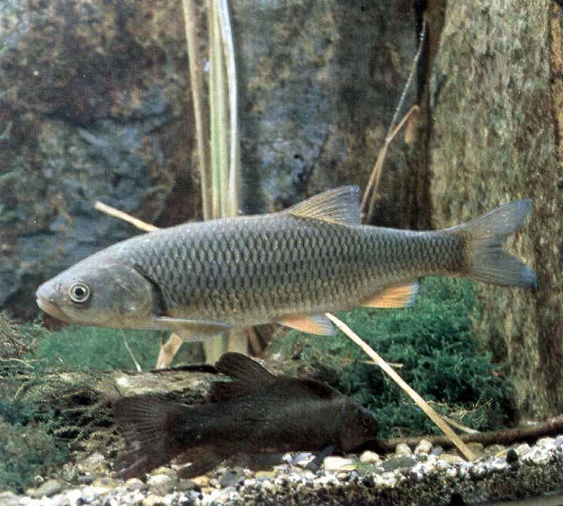 голавль, рыбалка