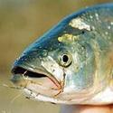 рыбалка, жерех