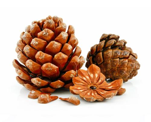 Кедровое масло, масло кедра, кедровые орешки, кедровый орех, получение кедрового масла, польза кедровых орехов, польза кедрового масла, лечение кедровым маслом