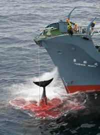 У берегов Австралии произошла первая в этом году стычка между японскими китобоями и защитниками китов