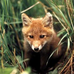 охота на лису, охота на зайца