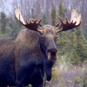 лось, охота на лося, календарь охотника