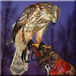 Осенняя охота с ловчей птицей на фазана