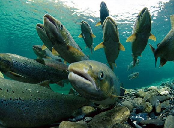 На  Камчатке постепенно разворачивается главная рыбалка года – лососевая  путина. Основной промысел пока ведется в Усть-Камчатском районе, где 7  рыбодобывающих предприятий выловили порядка 2 тыс. тонн нерки и 100 тонн  чавычи.