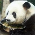 Панда-долгожитель