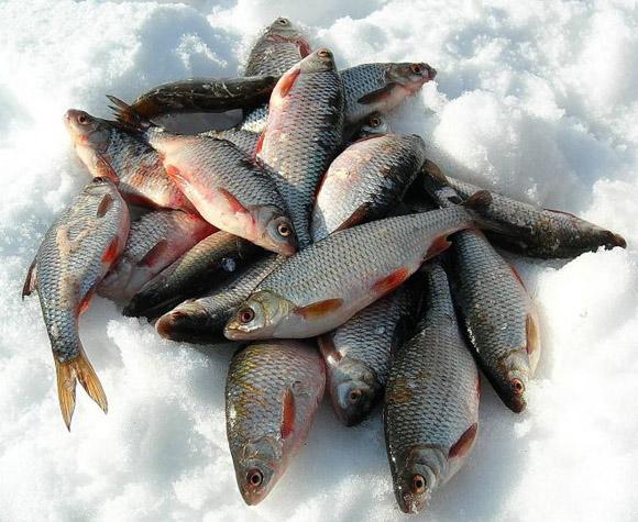 на рыбинском водохранилище пошла плотва