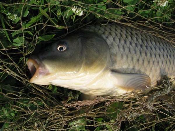 сазан, рыбалка