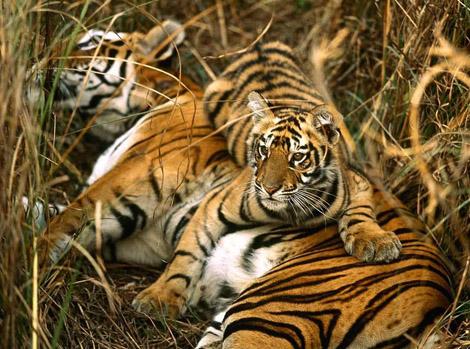 Тигрица с тигренком фото