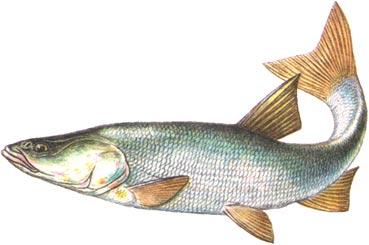 рыбалка, толстолобик