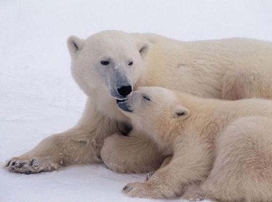охота на белого медведя