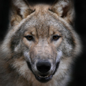 охота, волк