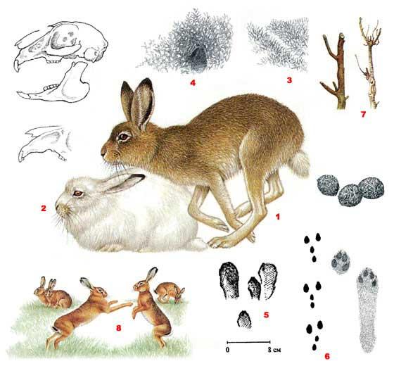 охота, заяц
