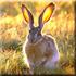 охота на зайца с борзыми